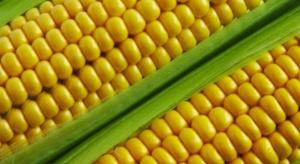 Uprawy GMO: porozumienie ws. zakazu nadal niemożliwe