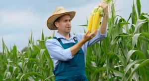 Izba Zbożowo-Paszowa: kukurydza najdroższa od 8 lat