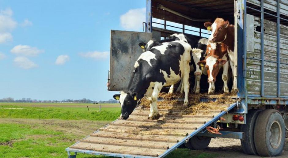 Hiszpania: Statki z hiszpańskimi krowami od 2 miesięcy tułają się po morzu