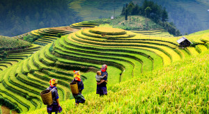 Ryż najdroższy od dekady. Wietnam i Kambodża blokują eksport