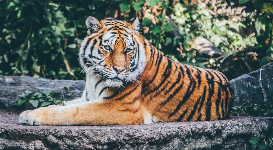 USA: Izba Reprezentantów za ograniczeniami w hodowli tygrysów