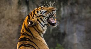 Indonezja: Ucieczka tygrysów z ogrodu zoologicznego