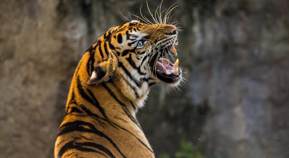 Indonezja: Ucieczka tygrysów z ogrodu zoologicznego; zginął pracownik