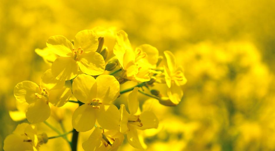 Łódź: Pozyskiwane w Bionanoparku białko z rzepaku może zrewolucjonizować dietę