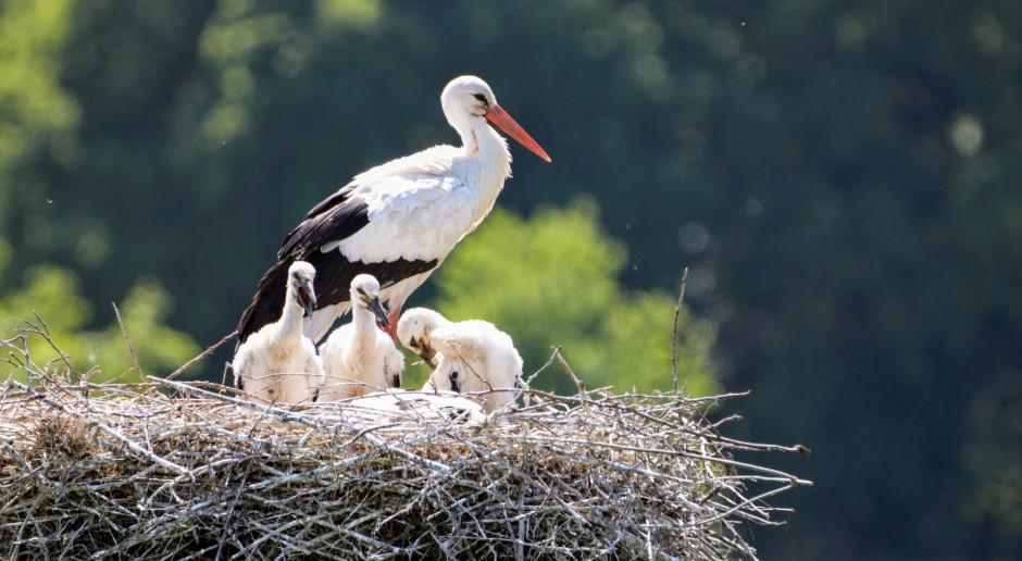 Śląskie: Energetycy odbudowali bocianie gniazdo