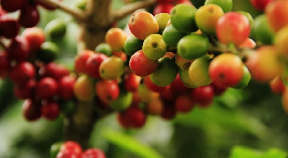 Ceny kawy mocno w górę. Wszystko przez silne mrozy
