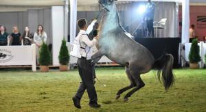 Klacz Palanga koniem pokazu w Janowie Podlaskim