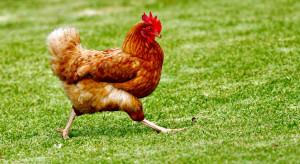Tanieją kurczaki w skupie