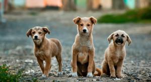 Korea Płd.: W kraju wciąż działają tysiące ferm hodujących psy